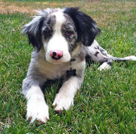 australian shepherd puppy names best 25 australian shepherd names ideas on aussie shepherd australian