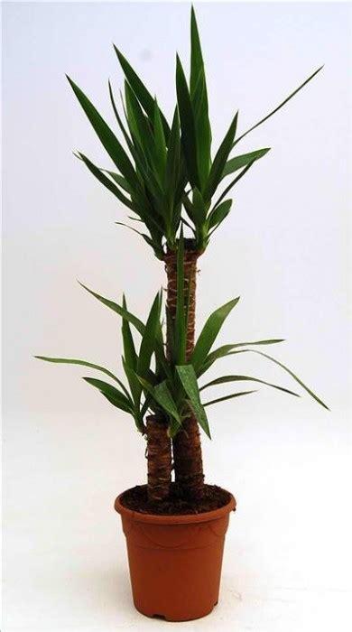 Plante Verte Yucca by Plante Verte Yucca L Atelier Des Fleurs