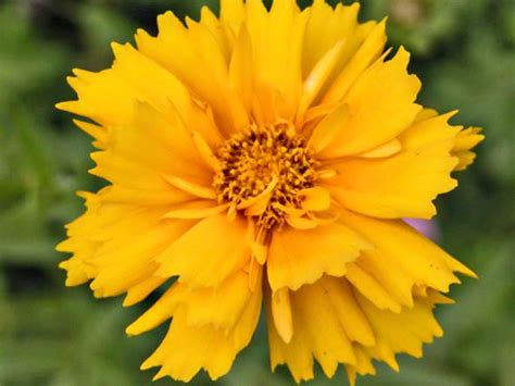 coreopsis tickseed