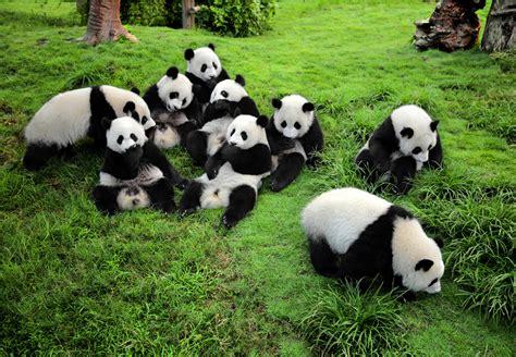 panda china chengdu research base of panda