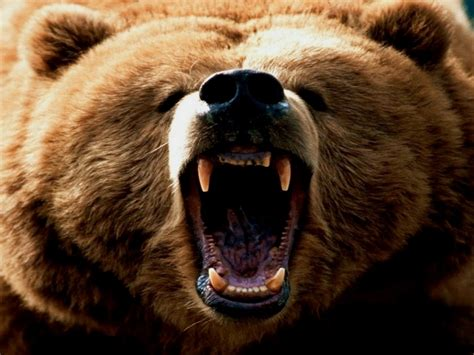 animal posters free brown bear poster