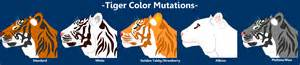tiger colors tiger color mutations by child of hades on deviantart