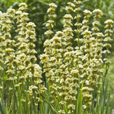 Best Virtual Home Design by Bbc Gardening Plant Finder Sisyrinchium