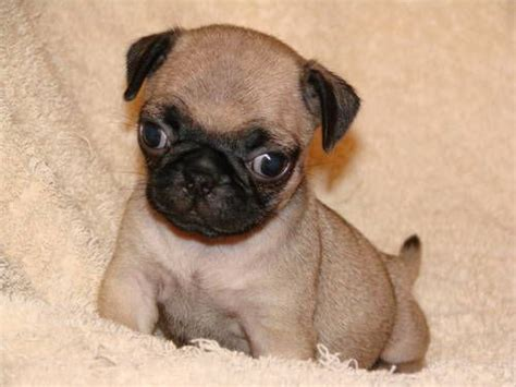 mini pugs image gallery miniature pug