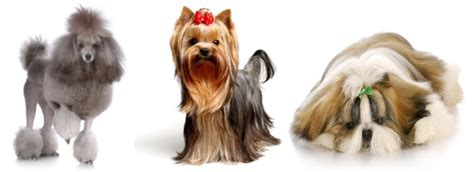 yorkie shedding a lot do terrier dogs shed do yorkies shed a lot yorkie
