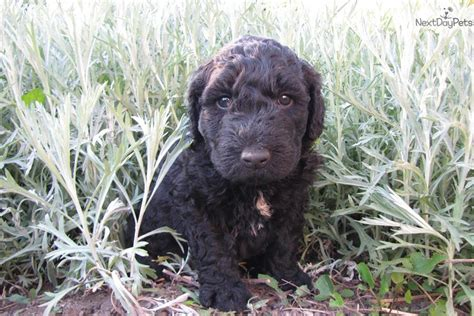 barbet puppies for sale meet j aime a barbet puppy for sale for 2 000 j aime brown barbet