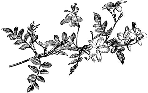 flowering spray of jasminum grandiflorum clipart etc
