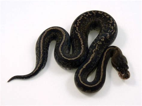 Python Black the gallery for gt lesser cinnamon python