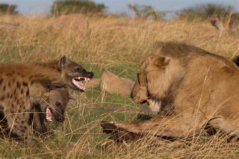 hyena vs vs hyenas original epic battle