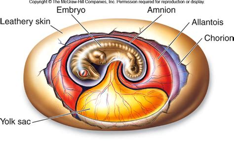 diagram of an amniotic egg vertebrates at shore community college studyblue