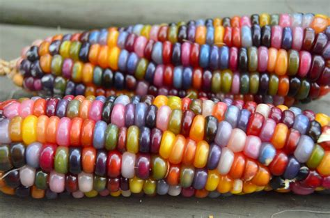 colored corn the adventures of six hobbits glass gem corn