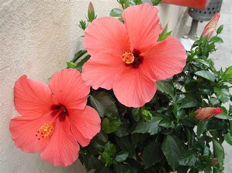 Orange Paint hibiscus coral flowers hibiscus