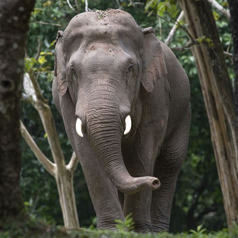 asian elephant interesting facts  animal spot