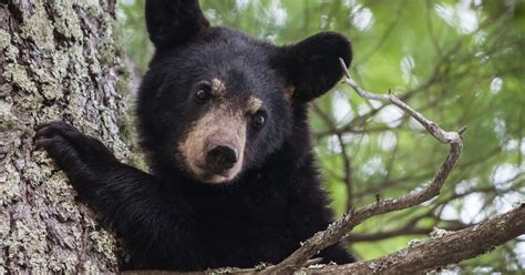 Black Bears 635839646766719177 thinkstockphotos 487505496 jpg