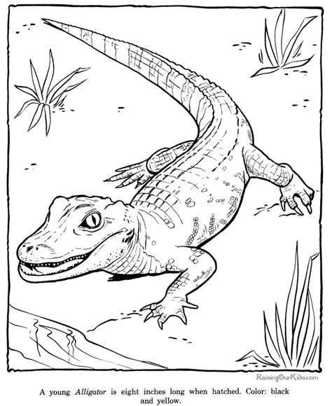 Alligator Coloring Sheets Free Zoo Animal Coloring Pages