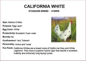 chicken breeds california white gonna be a farmer