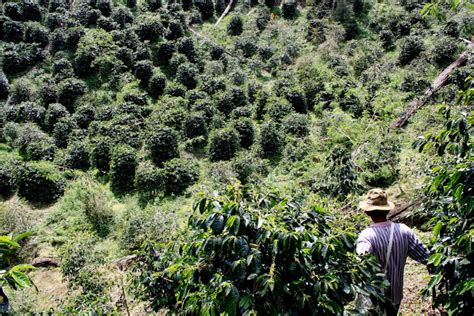 Kopi Arabika Gayo Mountain Kp6 kopi luwak civets coffee from gayo mountain