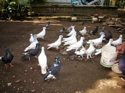 Tempat Makan Burung Merpati cara melatih burung merpati getakan agar bisa terbang