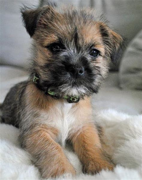 cairn terrier puppy cairn terrier pictures posters news and on your pursuit hobbies interests