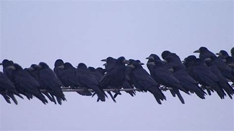 bbc autumnwatch blog how and where to see rooks roosting