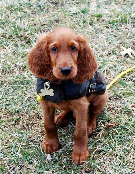 irish setter dog food 520 best images about red dogs on pinterest irish