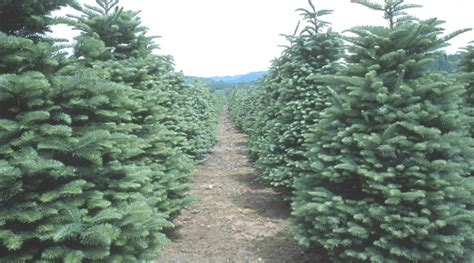 loudoun christmas tree farms ready for the rush loudoun now