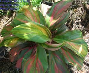 Hawaiian Tropical Plant Nursery - hawaiian tropical plant nursery cordyline hawaiian ti plants