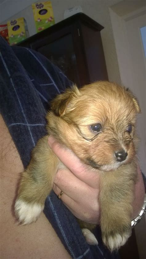lhasa pomeranian puppies pomeranian x lhasa apso puppies la poms burnley lancashire pets4homes
