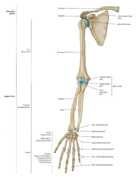 human bone anatomy diagram arm structure anatomy arm muscles and bones anatomy human