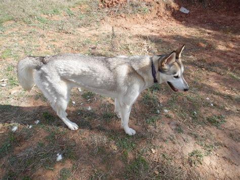 How Often Do Huskies Shed by Husky Shedding Help