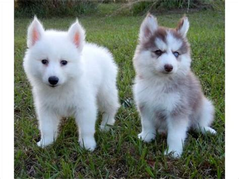 pomeranian grown 25 best ideas about pomeranian husky grown on grown pomsky