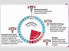 BIOLOGÍA Y GEOLOGÍA: 3ºESO Nervous, endocrine ... Female Period Cycle