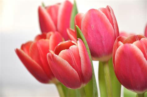 fiori semplici tulipani le variet 224 pi 249 da coltivare in balcone