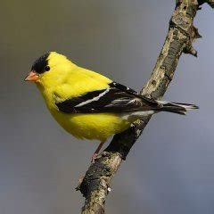 yellow birds in calgary birds calgary