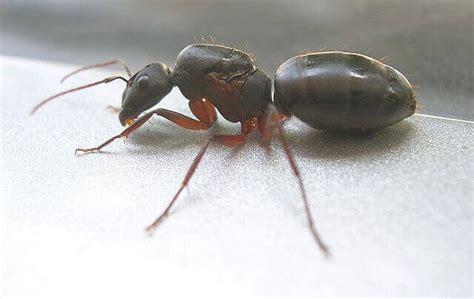 ameisenkoenigin aussehen und aufgaben im ameisenstaat