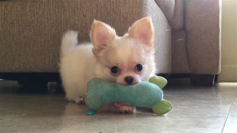 haired white chihuahua puppies