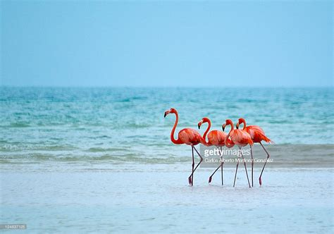 and stock photo getty images flamingos stock photo getty images