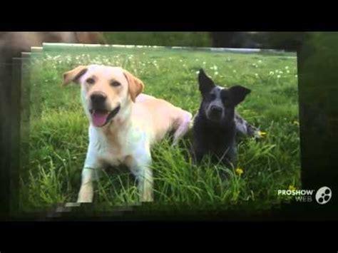 labraheeler puppies heelador australian cattle x labrador retriever funnydog tv