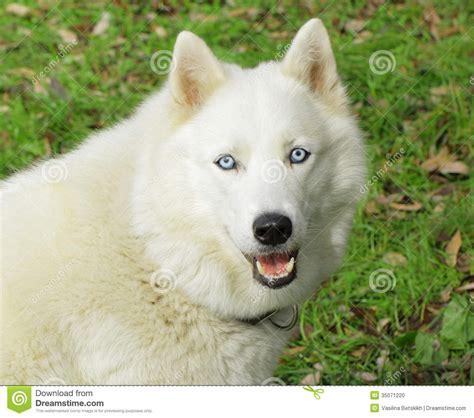 husky con occhi diversi perro esquimal blanco perro foto de archivo imagen