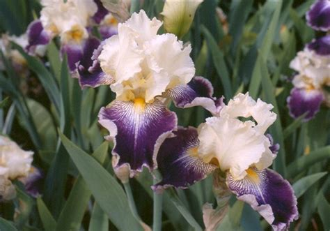 american iris society bearded classifications