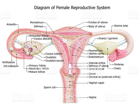diagram of reproductive organs reproductive system image diagram stock photo