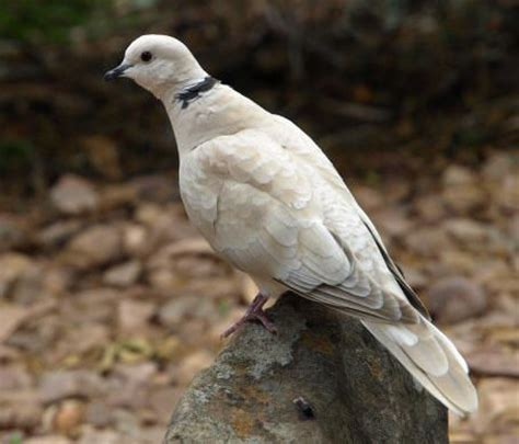 barbary dove australian birds backyard birds we have