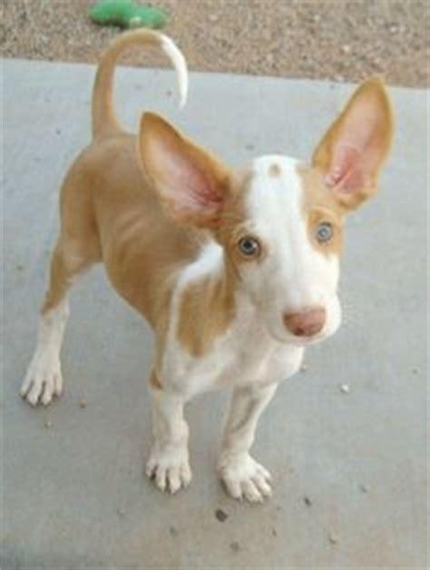 ibizan hound puppies 1000 images about ibizan hound on hound puppies hound and pharaoh hound