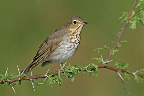 swainson s thrush audubon field guide
