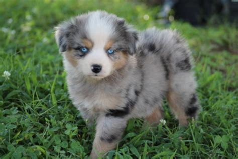 miniature australian shepherd puppies the lovable miniature australian shepherd canineplanet net