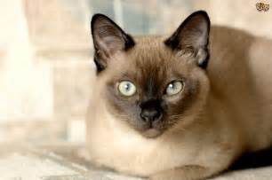 tonkinese colors the tonkinese cat breed pets4homes