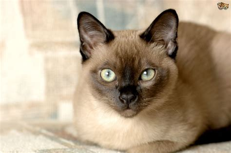 cat breed the tonkinese cat breed pets4homes