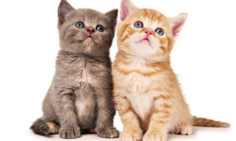 memelihara kucing persia tips memberi makan kucing persia cara merawat kucing yang benar
