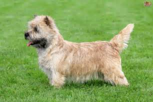 Breed And Co Norwich Terrier Breed Information Buying Advice