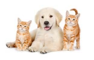 calico golden retrievers cat animal stock photos kimballstock